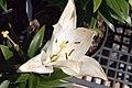 Lilium X-Otica 1zz.jpg
