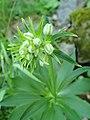 Lilium martagon var albiflorum kz01.jpg