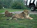 Lions (22939423286).jpg