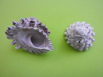 Turbinidae - Lithopoma tectum