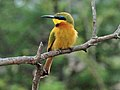 Little Bee-eater RWD3c.jpg