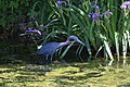 Little Blue Heron (34700289996).jpg