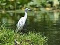 Little Blue Heron (juvenile) (34788792803).jpg