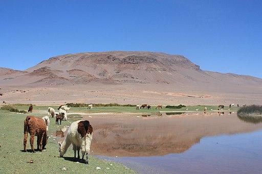 Llamas y laguna en Antofagasta de la Sierra, Catamarca