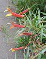 Lobelia laxiflora ssp. angustifolia (20264013503).jpg