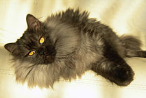 Lolo the Norwegian Forest Cat, lying down.jpg