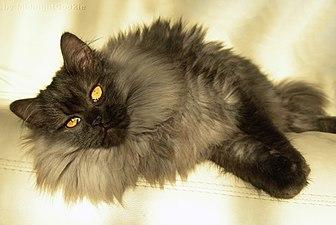 1b6d47991351 Γάτα - Βικιπαίδεια