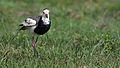 Long-toed lapwing, Vanellus crassirostris, Chobe National Park, Botswana (33751561742).jpg