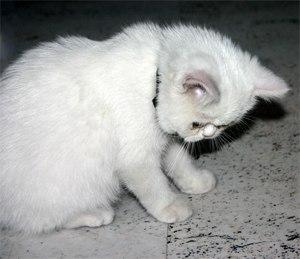 Exotic Shorthair - 12 week old white female Exotic Shorthair