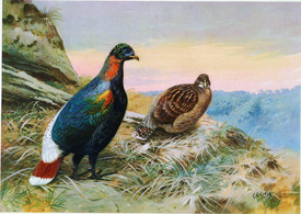 Lophophorus sclateri by George Edward Lodge.png