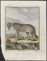 Lupus orientalis - 1700-1880 - Print - Iconographia Zoologica - Special Collections University of Amsterdam - UBA01 IZ22200369.tif