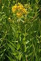 Lysimachia vulgaris - Ljubljansko barje 2.JPG