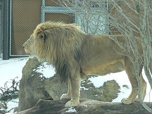 Southern African lion - Captive lion in Philadelphia Zoo