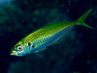 Japanese horse mackerel - Image: Ma Aji