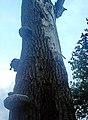 Maastricht, Linie van Du Moulin, dode boom met zwammen nabij sortie C.JPG