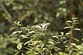 Machaon (Papilio machaon)-4469.jpg
