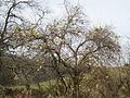 Maclura pomifera tree in fall.jpg