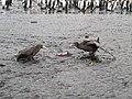 Macronectes giganteus et Macronectes halli se disputant un cadavre.jpg