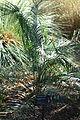 Macrozamia riedlei - Leaning Pine Arboretum - DSC05779.JPG