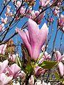 Magnolia liliiflora - 20150407 - 1.jpg