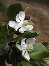 Magnolia pallescens