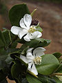 Magnolia pallescens.jpg