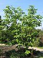 Magnolia tripetala JPG1a.jpg