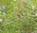 Magpie robin at vibrant resort.jpg