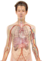 Male with organs.png