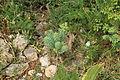 Malta - Mellieha - Triq il-Marfa - L-Inhawi tal-Ghadira - Euphorbia pinea 01 ies.jpg