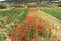 Malta - Mellieha - Triq il-Marfa - L-Inhawi tal-Ghadira 04 ies.jpg