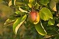 Malus domestica unriped fruit.jpg