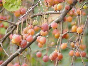 Malinae - Malus sikkimensis fruit