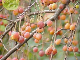 Malinae subtribe of plants