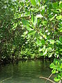 Mangroves up close (8747639784).jpg