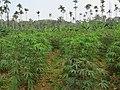 Manihot esculenta - Tapioca - Cassava at Periya (2).jpg