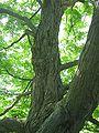 Maple - Inside Canopy - Cylburn Arboretum2.jpg