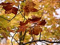 Maple Leaves (4998287747).jpg