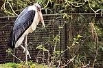 Marabou Stork - Linton Zoo (16761284539).jpg
