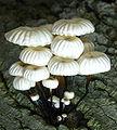 Marasmius rotula 89484.jpg