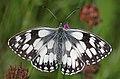 Marbled white (Melanargia galathea) male 2.jpg