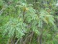 Marcetella moquiniana kz2.JPG