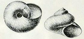 Margarites groenlandicus umbilicalis 001.jpg