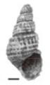 Margarya elongata shell.png