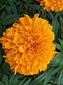 Marigold at Lalbagh Flower show August 2012 100056.jpg