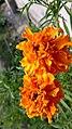 Marigolds flower.jpg