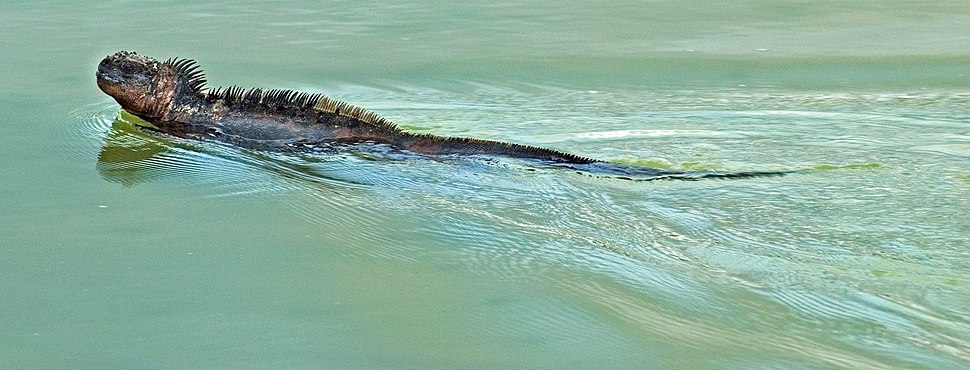 Marine iguana (4202531062)