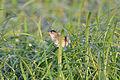 Marsh Wren (Cistothorus palustris) (14565176609).jpg