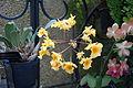 Maxillaria aggregata (Dendrobium aggregatum) - Longwood Gardens - DSC01207.JPG
