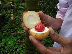 definition of nutmeg